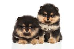Zwerg Spitz puppies on white background stock photo