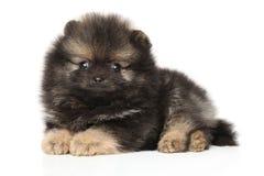 Zwerg Spitz puppy on white background stock image