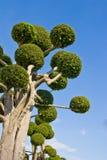 Zwergartige Bäume Stockfoto