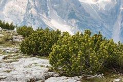 Zwergartige Bergkiefersträuche Stockfotografie