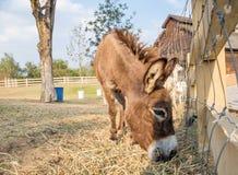Zwergartige braune Seite des Esels, die Gras isst Lizenzfreies Stockfoto