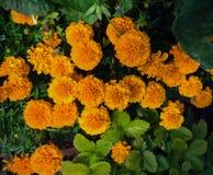 Zwergartige französische Ringelblumen im Gartenblumenbeethintergrund stockbild
