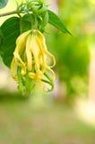 Zwergartige Ilang-Ilang Blume Stockfotos