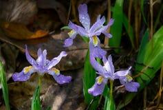 Zwergartige Irisgruppe mit Haube stockfotos