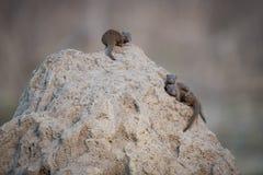 Zwergartige Mungos auf einem Termitenhügel lizenzfreies stockbild