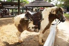 Zwergartige Pferdestellung entspannen sich im Stall an der Farm der Tiere in Saraburi, Thailand lizenzfreie stockbilder