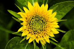 Zwergartige Sonnenblumen- und Grünblätter lizenzfreie stockfotografie