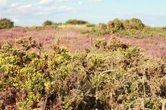 Zwergartige Stechginsteranlagen mit Heide in den englischen Heiden Lizenzfreie Stockfotografie