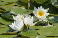 Zwergartige weiße Seerose Stockfoto