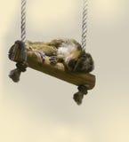 Zwergartiger Affe auf dem Schwingen Lizenzfreies Stockbild