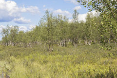 Zwergartiger Birkenwald Lizenzfreie Stockfotos