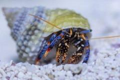Zwergartiger blauer mit Beinen versehener Einsiedlerkrebs stockfotografie