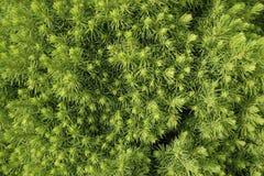 Zwergartiger dekorativer zapfentragender immergrüner Baum Picea glauca Conica stockbild