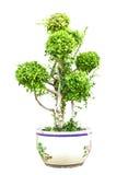 Zwergartiger grüner Baum der Bonsais im Topf lokalisiert Lizenzfreie Stockfotografie