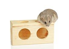 Zwergartiger Hamster Lizenzfreies Stockfoto