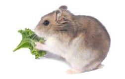 Zwergartiger Hamster lizenzfreie stockfotografie