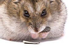 Zwergartiger Hamster essen Sonnenblumensamen Lizenzfreie Stockfotografie
