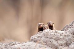 Zwergartiger Mungo (Helogale parvula) Stockfotos