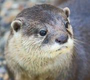 Zwergartiger Otter 2 lizenzfreie stockfotografie