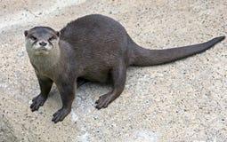 Zwergartiger Otter 4 stockfoto