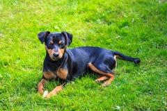 Zwergartiger Pinscher, Hund Lizenzfreie Stockbilder