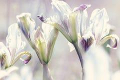 Zwergartiges Iris Iris-pumila in den Küstenhügeln Stockbilder