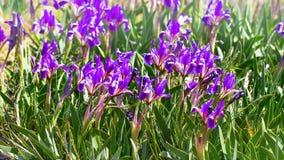 Zwergartiges Iris Iris-pumila in den Küstenhügeln Stockfoto