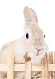 Zwergartiges Kaninchen Lizenzfreies Stockbild