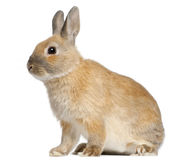Zwergartiges Kaninchen, 6 Monate alte Lizenzfreie Stockbilder
