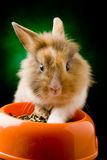 Zwergartiges Kaninchen mit Kopf des Löwes mit seiner Nahrungsmittelschüssel Stockbild