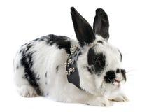 Zwergartiges Kaninchen mit Kragen Stockfotos