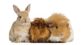 Zwergartiges Kaninchen und Meerschweinchen, lokalisiert Stockfotografie