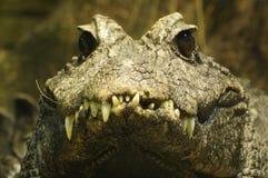 Zwergartiges Krokodil (Osteolaemus tetraspis) Stockbilder