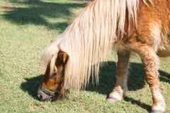 Zwergartiges Pferd Stockfoto
