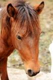 Zwergartiges Pferd der Nahaufnahme Lizenzfreie Stockbilder