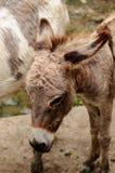 Zwergartiges Pferd der Nahaufnahme Stockbild