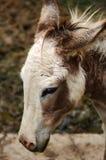 Zwergartiges Pferd der Nahaufnahme Lizenzfreies Stockbild