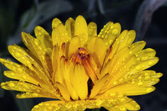 Zwergartiges Portrait des Calendula stockbilder