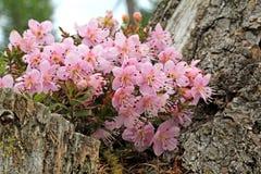 Zwergartiges rododendron (rhodothamnus chamaecistus) Stockbild