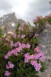 Zwergartiges rododendron (rhodothamnus chamaecistus) Stockfotografie