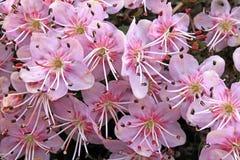 Zwergartiges rododendron (rhodothamnus chamaecistus) Stockbilder