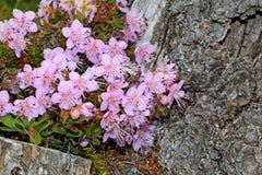 Zwergartiges rododendron (rhodothamnus chamaecistus) Lizenzfreie Stockbilder