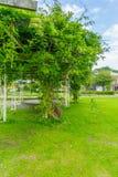 Zwergbohne-Betriebsbaum im Park Stockfotos