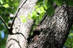 Zwerggleithörnchen nimmt herauf Baum Reißaus lizenzfreies stockfoto