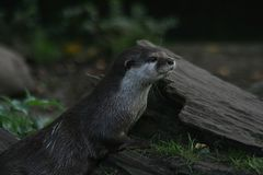 Zwergotter. Oriental small-clawed otter in the nature Royalty Free Stock Photos
