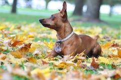 Zwergpinscher το φθινόπωρο Στοκ εικόνες με δικαίωμα ελεύθερης χρήσης