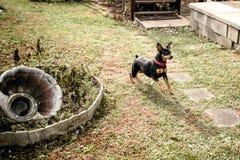 Zwergpinscher, der im Hinterhof spielt stockfotos