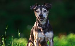 Zwergpinscher Mickey Mouse Royalty Free Stock Image