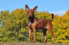 Zwergpinscher no outono Fotos de Stock