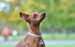 Zwergpinscher no outono Fotografia de Stock Royalty Free